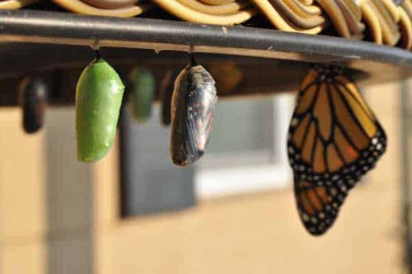 transforming butterflies caterpillar to butterfly reincarnation and resurrection