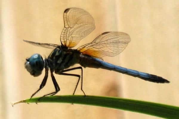Dragonfly Typology of the Fairy